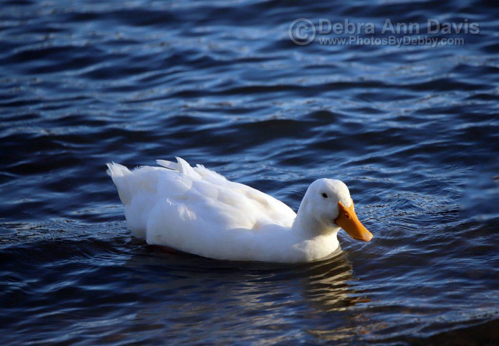 Pekin Duck In Lake